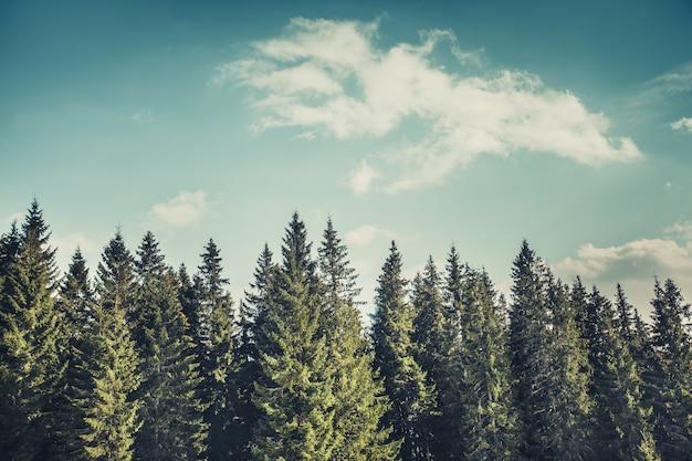 松の木の列。カルパティア山脈。ウクライナ。