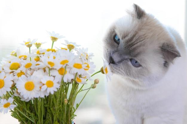 カモミールデイジーの花の花束とスコティッシュフォールド猫