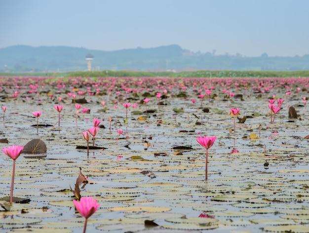 Море красного лотоса или водяная лилия в водно-болотных угодьях talay-noi, таиланд
