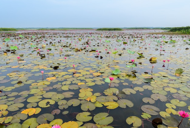 Море красного лотоса или водяная лилия в водно-болотных угодьях талай-ной, таиланд
