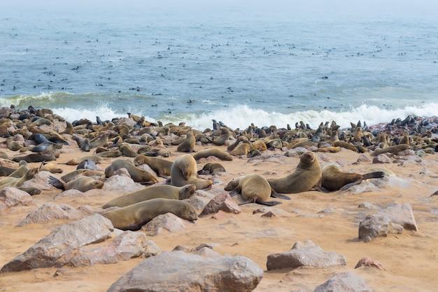 Колония тюленя на мысе крест, на атлантическом побережье намибии, африка.