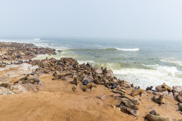 Колония тюленей на мысе кросс, на атлантическом побережье намибии, африка.