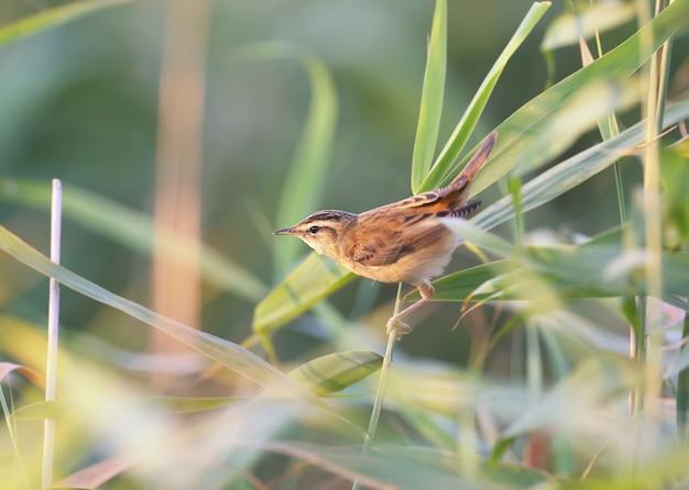 Осоковая камышевка (acrocephalus schoenobaenus) сфотографирована крупным планом в тростниковой грядке при мягком утреннем свете. возможна идентификация птиц.