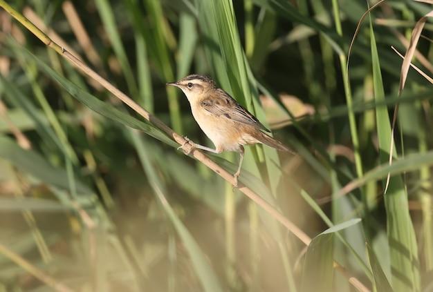 スゲヨシキリ(acrocephalus schoenobaenus)は、朝のやわらかな光の中でヨシ原のクローズアップで撮影されています。鳥の識別が可能です。