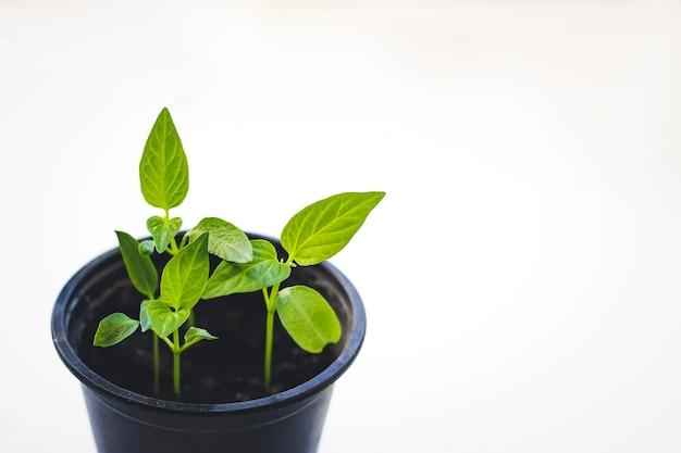 묘목은 비옥한 토양에서 자라고 있습니다. 작은 식물 성장의 근접입니다. 흰색 배경에 고립 된 토양에서 자라는 녹색 새싹.