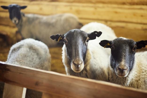 Овцы стоят в загоне