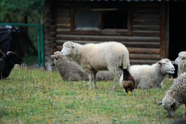 농장 야외에 양입니다.