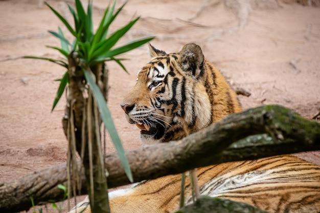 Амурский тигр, также известный как тигр амур, является одной из 6 популяций тигров, которые все еще существуют.