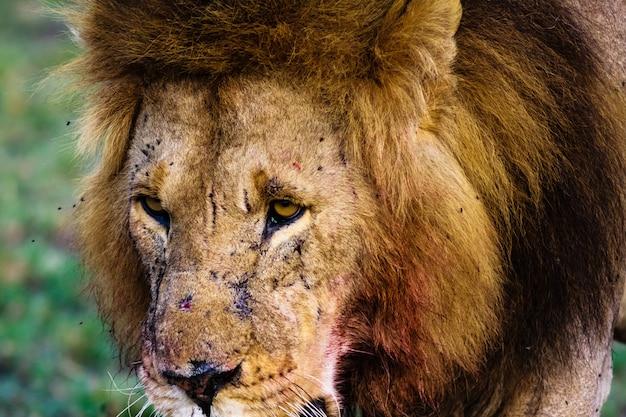 Вид льва. кения, африка