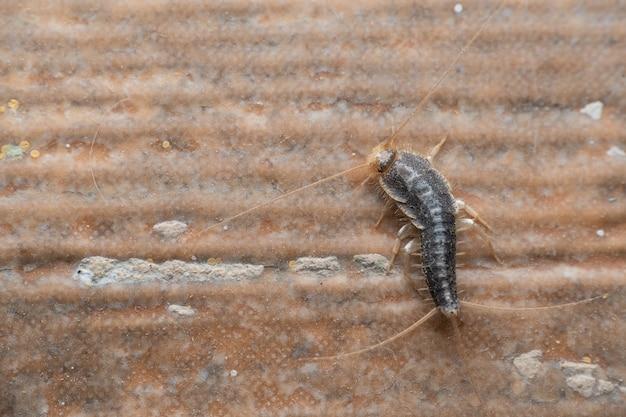 Серебряная рыбка (lepisma saccharinum) или сахарина