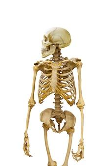 男の骨格は白い背景で隔離されています。頭蓋骨は横向きに包まれます。高品質の写真