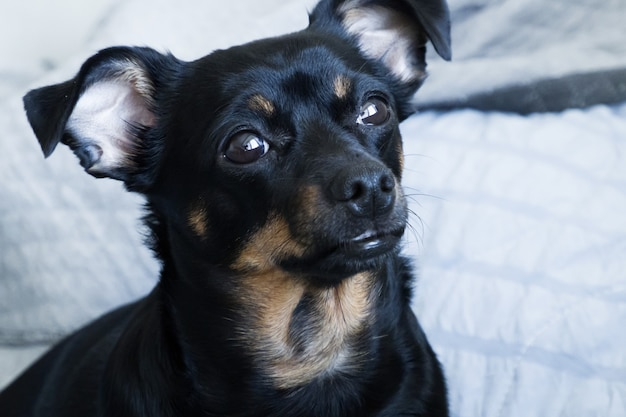 小さな黒い犬、銃口のクローズアップ
