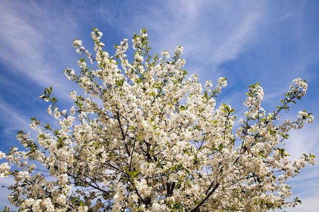 クローズアップで撮影したリンゴの木の小さな花。シャープネスの深さが小さい