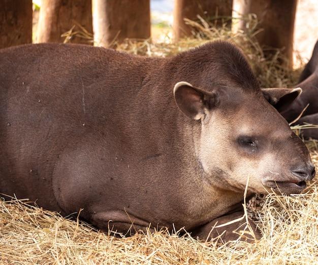 포르투갈어로는 일반적으로 브라질 테이퍼라고도 하는 남미 테이퍼(tapirus terrestris)