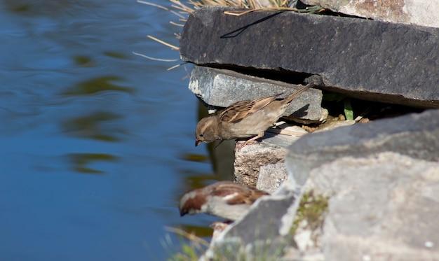 Воробей нагибается, чтобы набрать воды из озера, чтобы напиться и утолить жажду