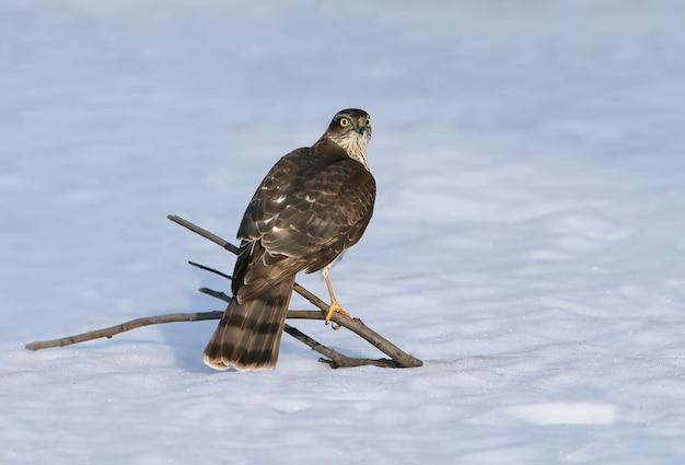 Ястреб-перепелятник сидит на тонкой ветке возле лесной кормушки и ждет добычу