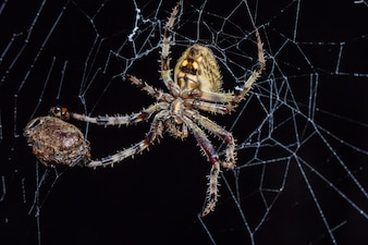 The Spider on web