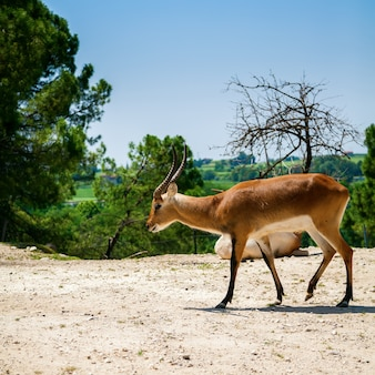 イタリアの動物園のスプリングボックアンテロープ(antidorcas marsupialis)