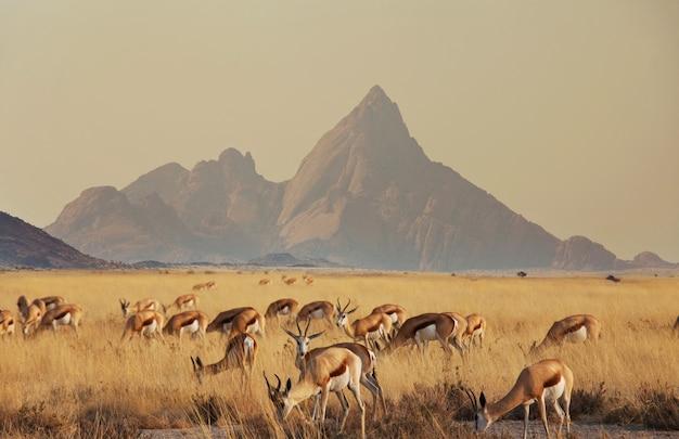 Спрингбок (antidorcas marsupialis) в африканском кустарнике, намибия.