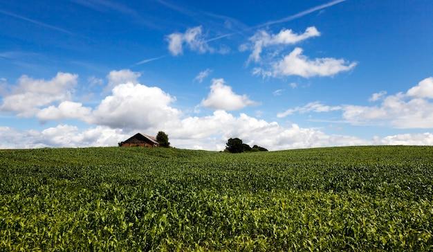 Сфотографировали ростки молодой кукурузы