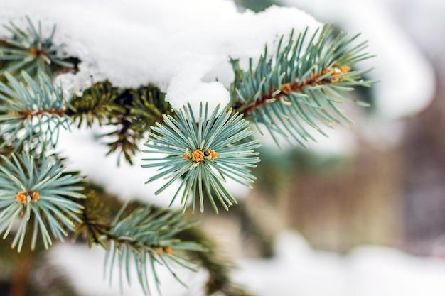 トウヒの枝は厚い雪の層で覆われています_