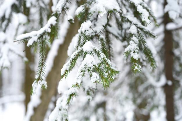 Еловая ветка елки покрыта снегом в заснеженном зимнем лесу.