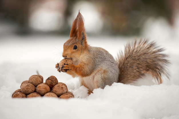 Белка стоит с гайкой в лапах на снегу перед кучей орехов