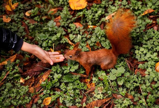 Белка берет орех и руки девушки в городском осеннем парке