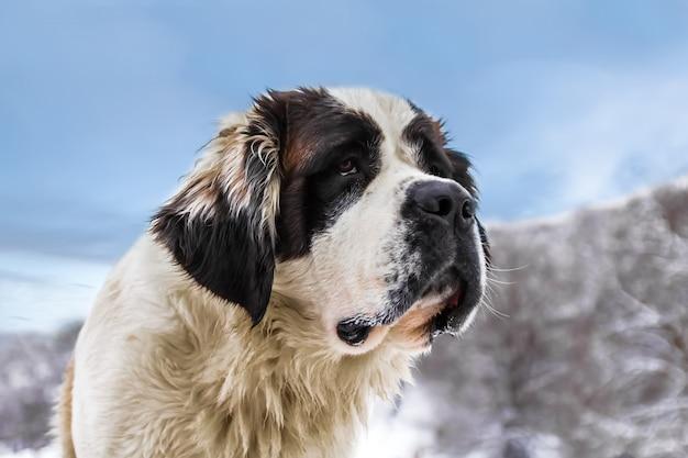 Сенбернар большой пес - верный друг и большая помощь в снегу. очень милая собака, которая тихо двигалась среди лыжников. он был звездой этого тихого места в горах