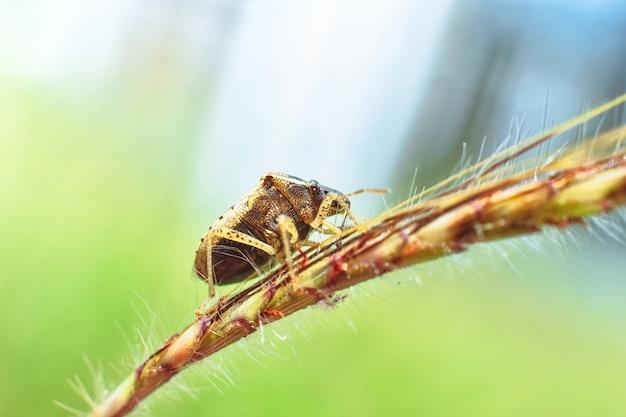 자연 초원의 잔디 가지에 자리 잡은 악취 버그, 곤충 클로즈업 매크로