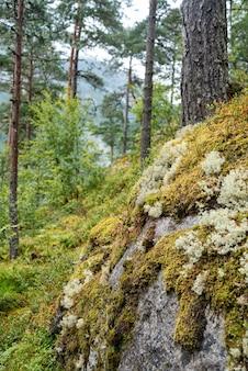 Камень зарос мхом в сосновом лесу