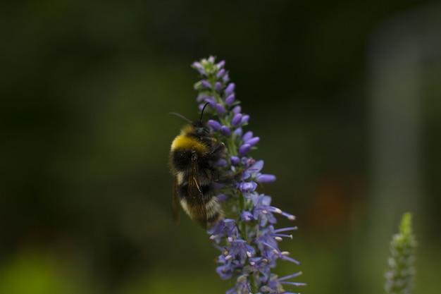 줄무늬 땅벌은 꽃에 꽃가루와 꿀을 수집합니다. 여름