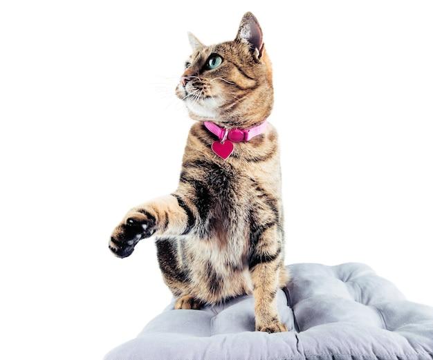Потрясающий бенгальский кот в розовом ошейнике смотрит вверх.