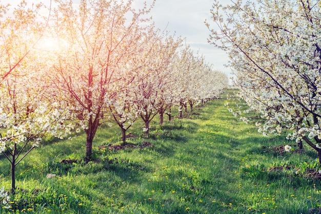 Солнце прорывается сквозь ветви цветущих деревьев