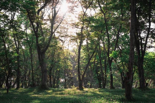 Солнце сияет сквозь деревья