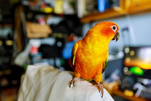 黄色いオレンジと赤いニチニチソウの美しい色が椅子に座っている太陽インコ