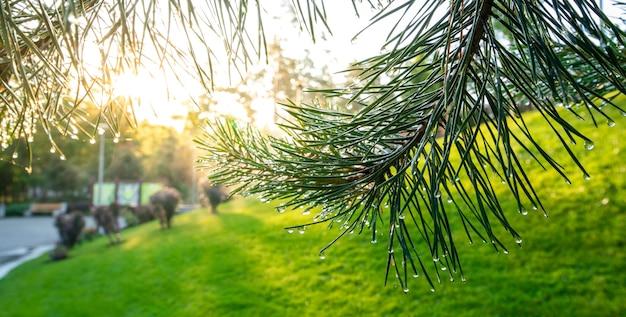 太陽光線が松葉の露や雨のしずくを照らします