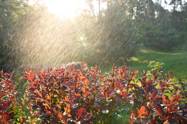 Солнечные лучи освещают капли теплого дождя, падающие на ярко-розовые листья барбариса в летнем парке.