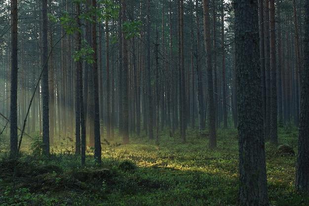 太陽光線が森を斜めに通り抜け、霧の松林を照らします。
