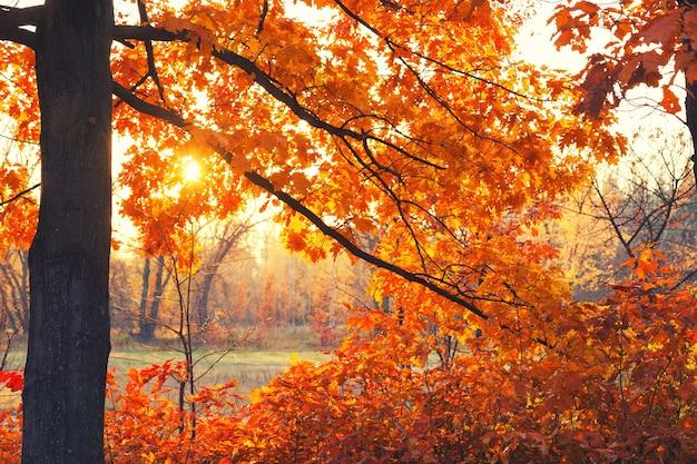 秋の森の木々の枝から太陽が輝いています