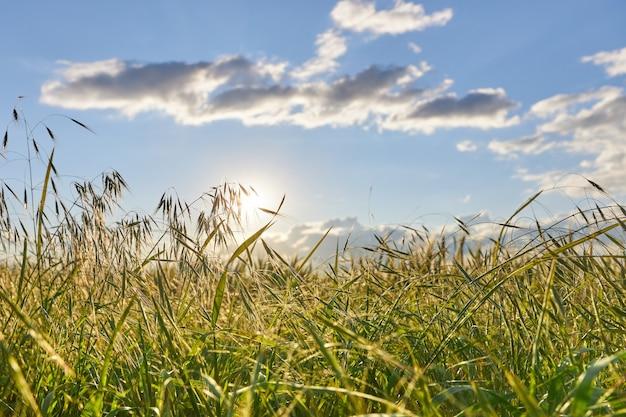 日没時の太陽光線がオート麦の小穂を突破