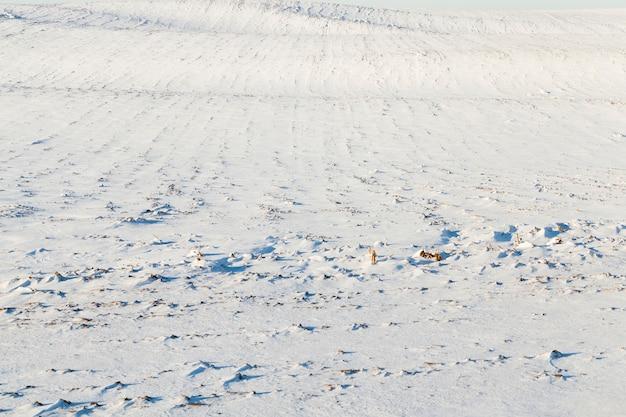 농업 분야의 눈 표면. 사진은 겨울철에 근접 촬영되었습니다. 작은 피사계 심도. 수확 후 눈에 보이는 절단 옥수수 줄기