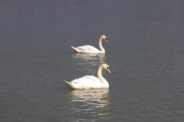 スロベニアのマリボルの川の白鳥