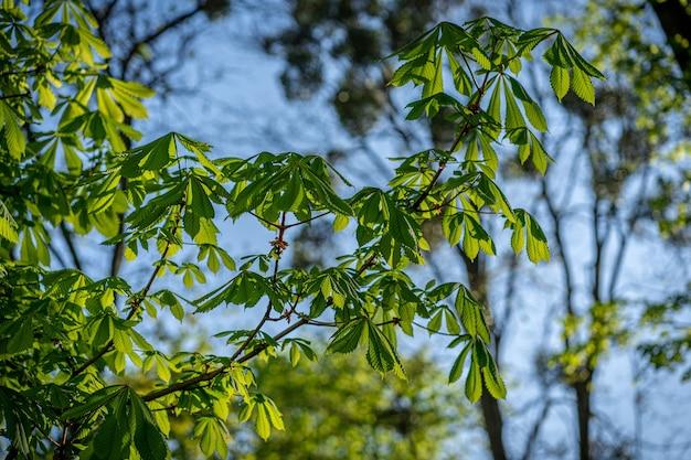 위쪽으로 본 달콤한 밤나무 castanea sativa 나무
