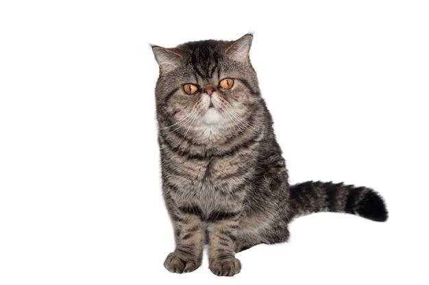 주황색 큰 눈을 가진 이국적인 쇼트헤어 품종의 얼룩 고양이는 흰색 배경에 앉아 있습니다. 격리