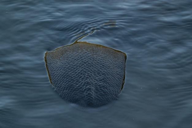 강에서 수영하는 비버의 꼬리