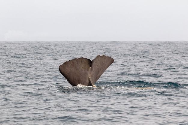 Хвост ныряющего кашалота. каикоура, южный остров. новая зеландия