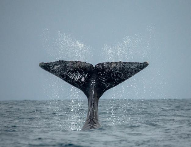 ザトウクジラの尻尾。マダガスカル。セントメリーズアイランド。