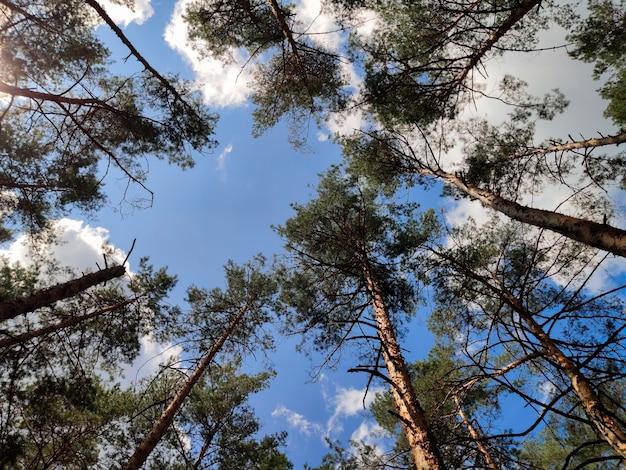 松の木の背の高い幹が空に伸びています