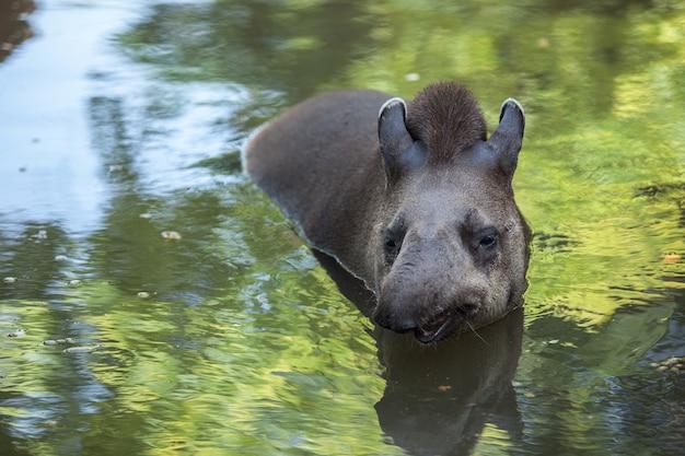 バクは水に浮かんでいます。キュートで面白い野生動物